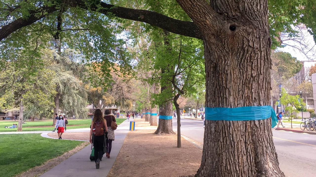 Teal ribbons around trees on the Quad